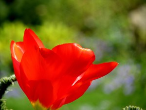 Silky Tulip II - Photography