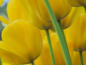 Silky Yellows - Photography