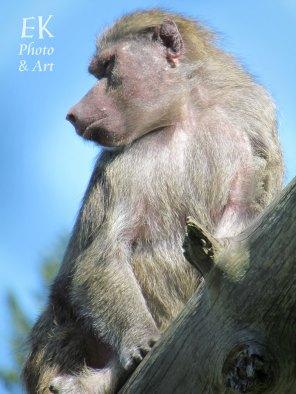 Baboon IV - Wildlife Photography
