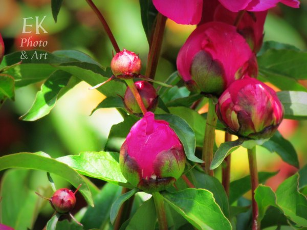 Bright Pink Buds - Floral Photography