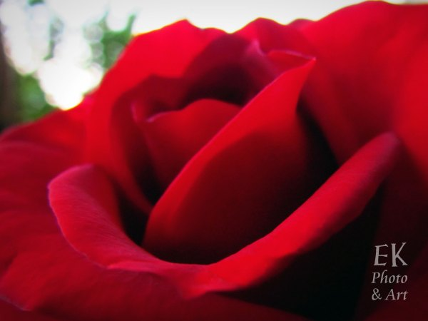 Red Rose I - Floral Photography