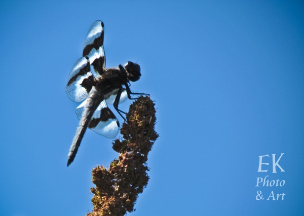 Dragonfly 1 - Nature Photography