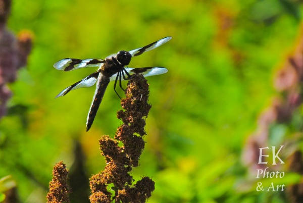 Dragonfly 2 - Nature Photography