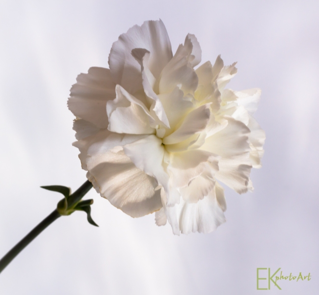 Carnation - White on White Photography